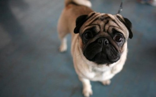 Researchers warn of growing trend for 'unhealthy' flat-faced dogs