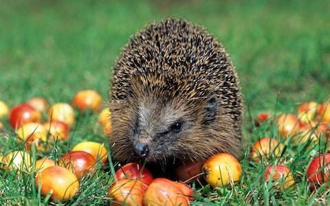 Are we seeing a spike in urban hedgehogs?