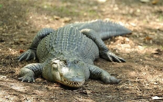 Police find alligators eating human body in Florida
