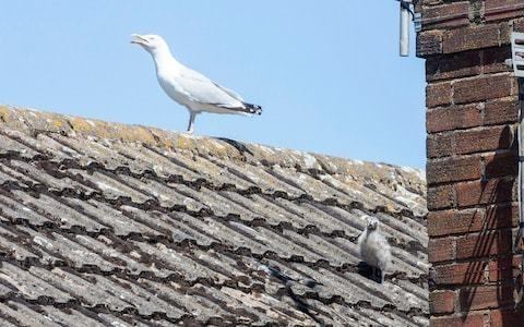 Seagulls keep couple hostage in their own home for six days by attacking them every time they leave house