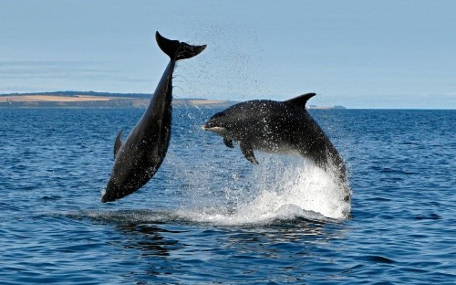Dolphins have 'human-like' societies...but are held back by a lack of opposable thumbs, say scientists