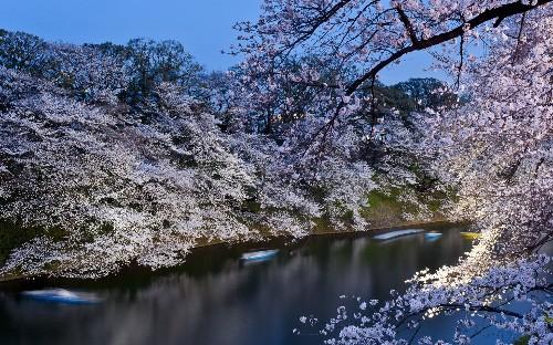 Cherry blossom season begins in Tokyo