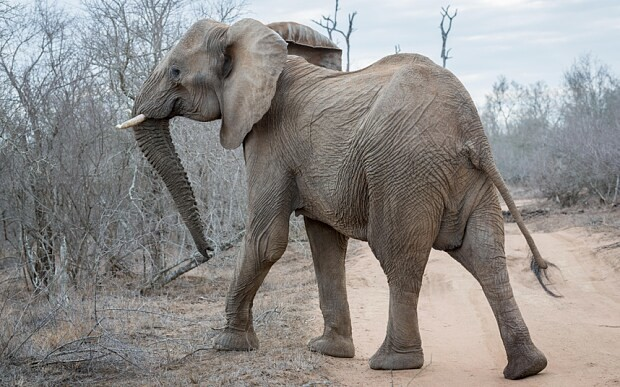 Swazi elephants sedated and flown to US zoos in dramatic 'rescue' mission