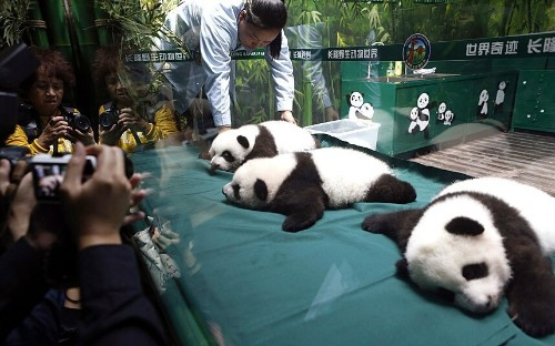 China's giant panda triplets at 100 days old: in pictures - Telegraph