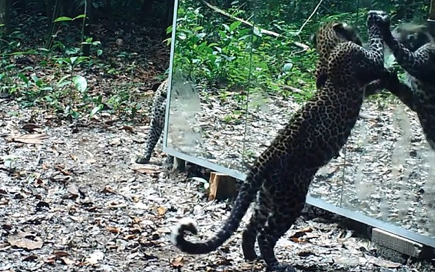 Watch: Animals' hilarious reactions to seeing their reflections in jungle mirror