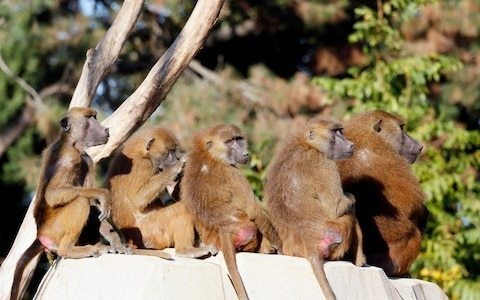Paris zoo evacuated after 50 baboons escape