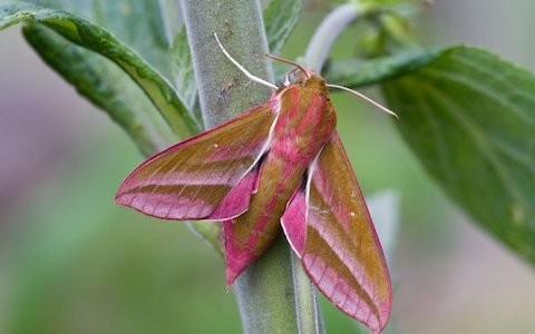 Let caterpillars eat your flowers this autumn to help pink moth, RHS says