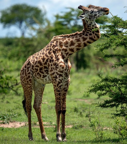Giraffe has zig-zag spine (but don't worry, all the other giraffes treat him normally)