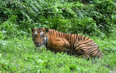 Paper tigers: India's big cat surveys 'over reporting numbers'