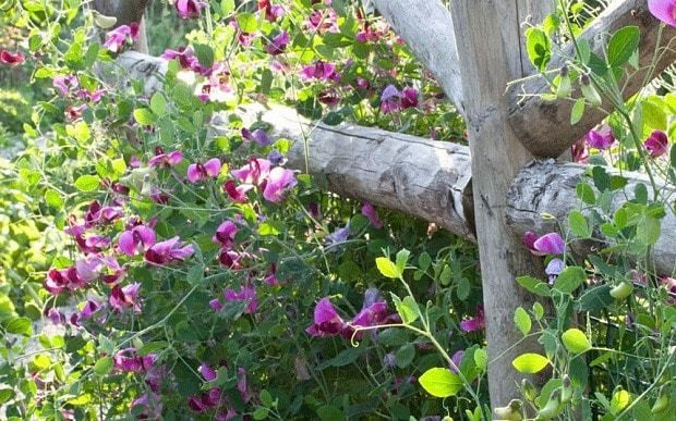 How to grow sweetpeas: fill your garden with amazing scent