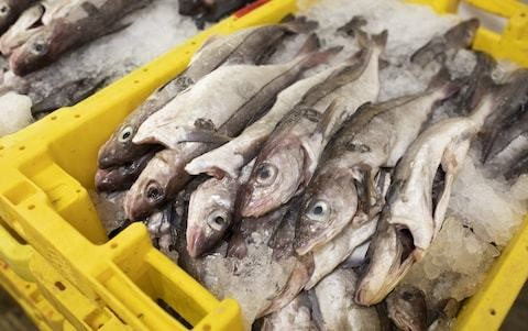 Tuna and anchovies to chase out cod in 30 years as UK seas warm up