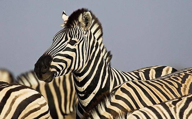 Zebras' stripes 'do not protect them from predators'