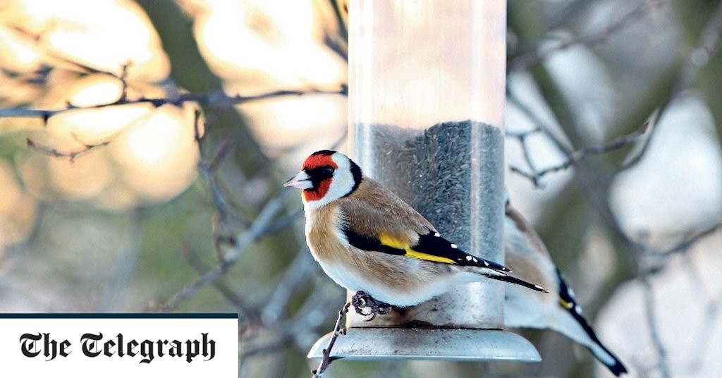 Niger seed, the goldfinch favourite, comes with interesting baggage