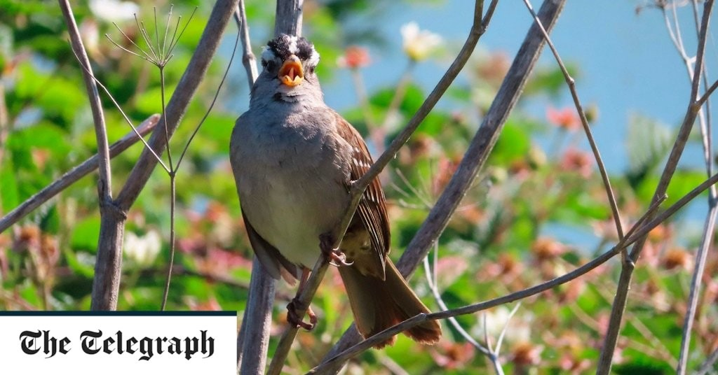 San Francisco sparrows sang more quietly and 'chilled out' in coronavirus lockdown