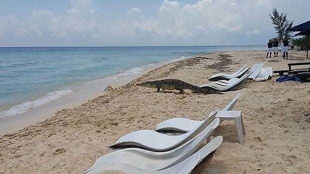 Beachgoers stunned by crocodile wandering on Mexico beach