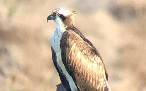 Osprey chick from Dorset spotted in Gambia after being the first to make 4,000 migration from southern England in over 200 years