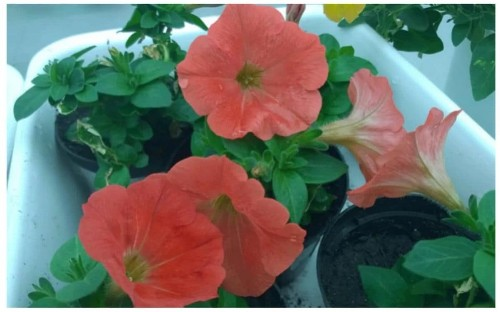 Ken Thompson: how did orange petunias escape from the lab?