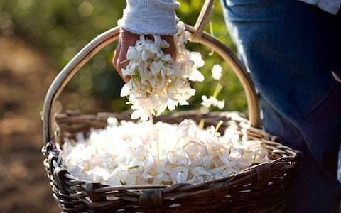 Grasse Jasmine Festival: flower power wins in Provence