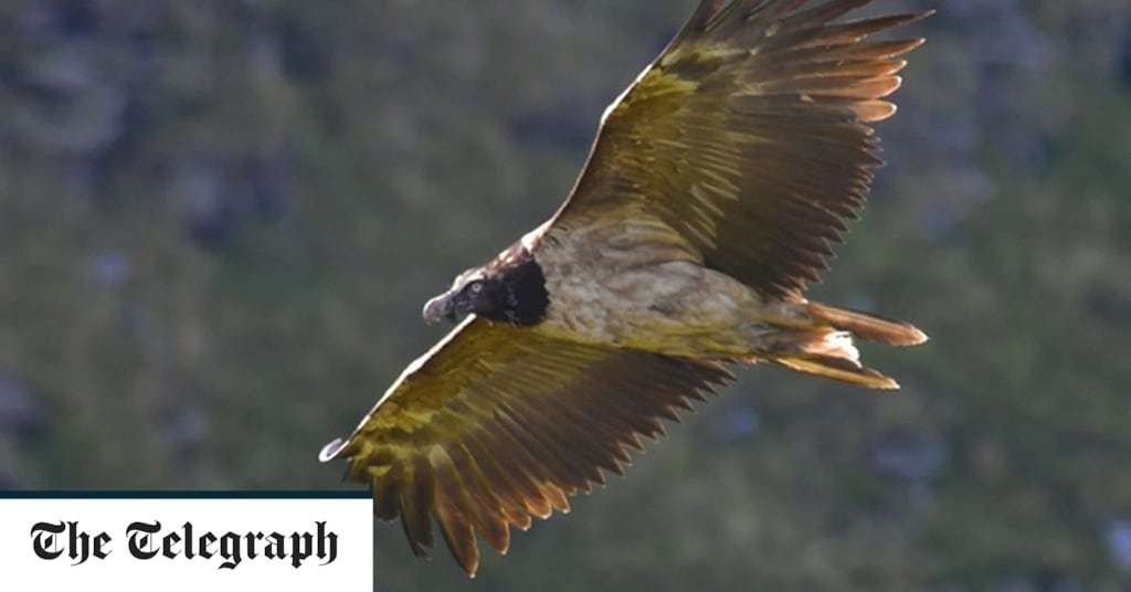 Peak District National Park in row with conservationists over future of bearded vulture