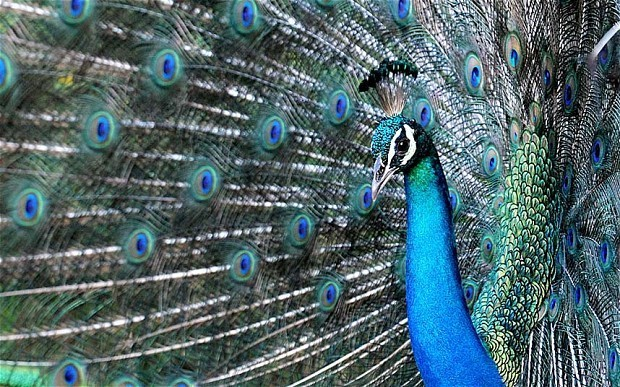 Human brain 'like a peacock's tail' during courtship