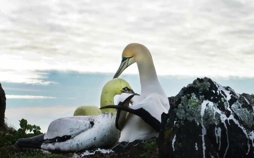 Nigel the lonely gannet dies on island surrounded by concrete birds