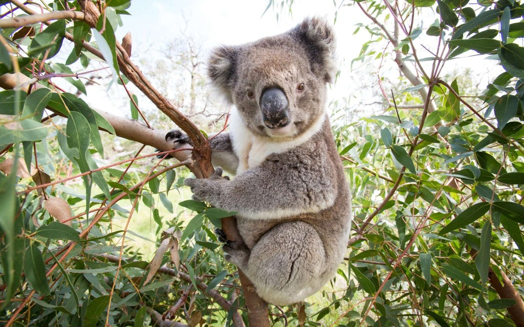 Koalas pushed to the brink of extinction by drought and bush fires, animal welfare groups say
