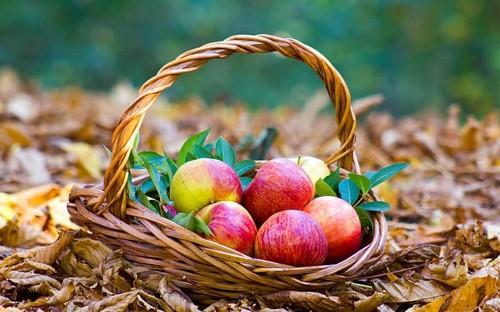 Growing apples: a gardener's guide