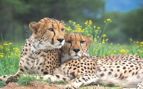 There are now only 7,500 cheetahs left in the world - is there time to save the species?