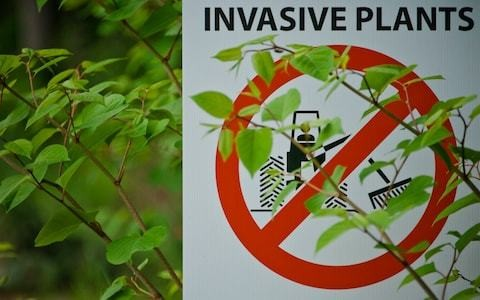 How to deal with Japanese knotweed, by garden expert Helen Yemm