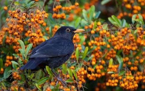 How to leave berries for the birds; don't mix trees and strimmers, by garden expert Helen Yemm
