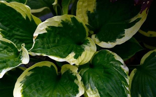 The perfect plant for... a shady strip with good soil
