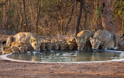 How the Asiatic lion was saved from extinction thanks to Indian villagers