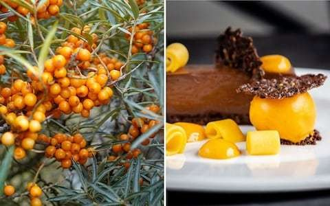 """Move over, açaí: British-grown sea buckthorn is autumn's """"superfood"""" berry and already a hit on Michelin-starred menus"""