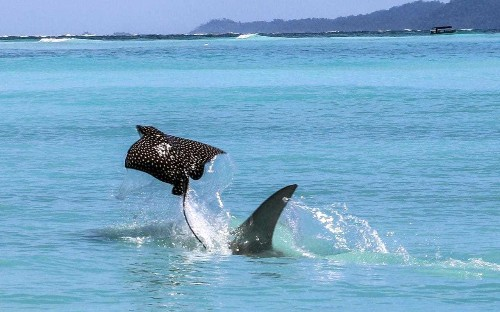 Eagle ray flies out the water to escape hammerhead shark in Panama