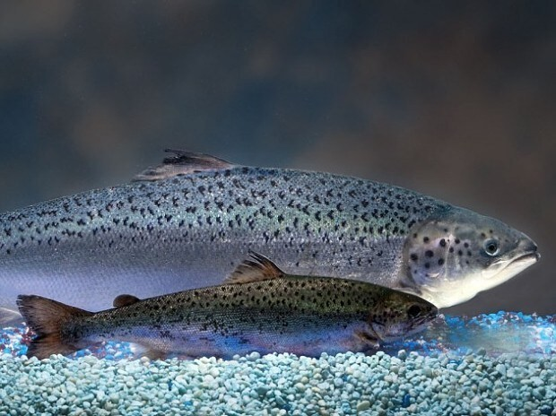 First genetically modified salmon cleared to enter human food chain