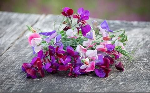 What's new in the world of sweetpeas? Sarah Raven explores the new breeds worth knowing