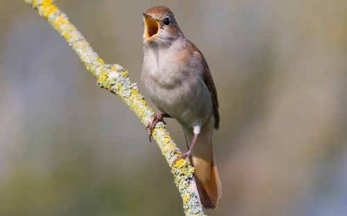 Nightingales may become increasingly rare as climate change alters their wingspan, study finds