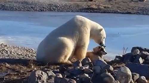 Polar bear 'strokes' dog in bizarre encounter