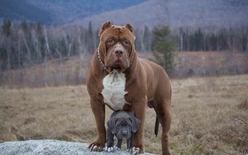 World's largest pitbull has puppies which could be worth $100,000 each