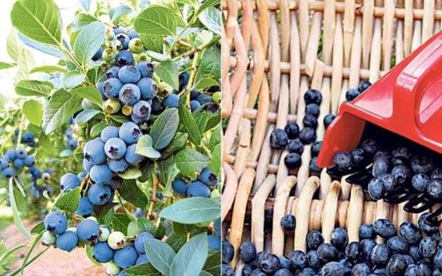How to grow blueberries in the garden