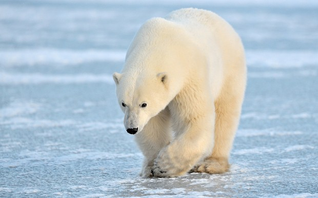 Russian pilot who crashed in Arctic survives encounter with polar bears