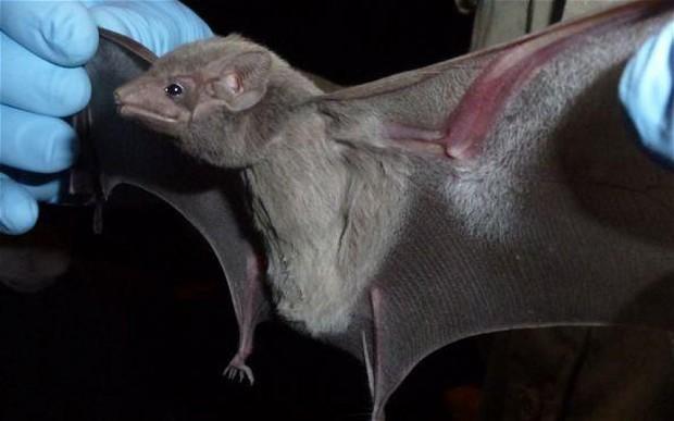 Is Mers virus spread by bats?