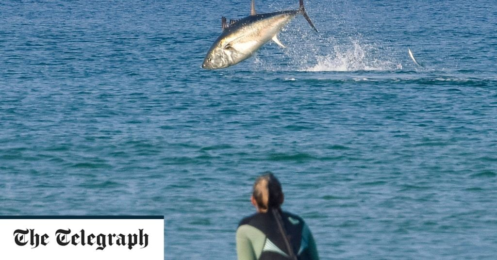 Bluefin tuna migrating to UK due to climate change as conservationists call for our waters to be sanctuary for endangered fish