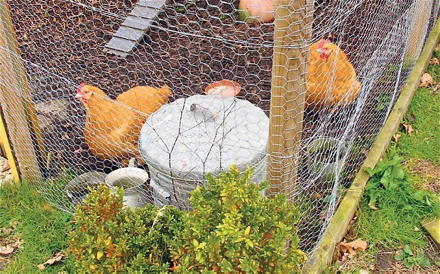 How to protect your hens from sly Mr Fox