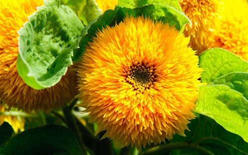 The year of the sunflower: meet the new varieties and colours