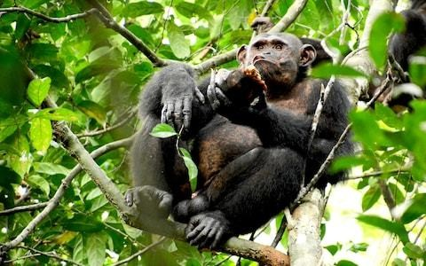 Chimpanzees feast on tortoises by smashing their shells...and even save some for later
