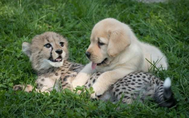 Puppy and cheetah cub to be raised as brothers