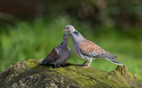 Farmers who help turtle doves should be rewarded with government cash, RSPB says