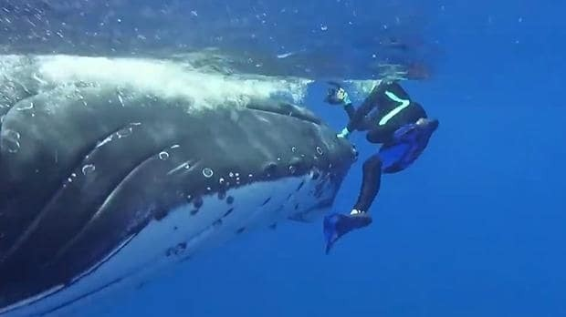 Humpback whale 'saves' marine biologist from tiger shark