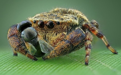 Macro monsters: Jumping spiders up close, in pictures